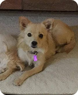 Pomeranian Mix Dog for adoption in Las Vegas, Nevada - Tia