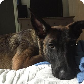 Belgian Malinois Dog for adoption in Dripping Springs, Texas - Tango-Referral