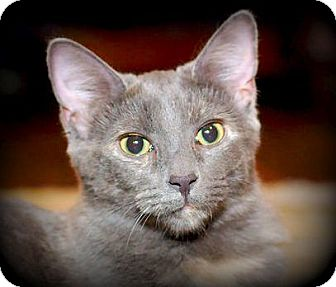 Domestic Shorthair Kitten for adoption in Knoxville, Tennessee - Asher