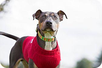 Doberman Pinscher Mix Dog for adoption in Laingsburg, Michigan - Gil