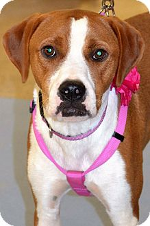 Boxer/Hound (Unknown Type) Mix Dog for adoption in Albemarle, North Carolina - Charlie