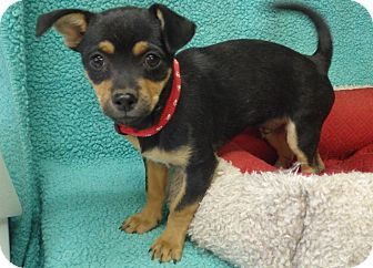 Chihuahua Mix Puppy for adoption in Quail Valley, California - Jackson