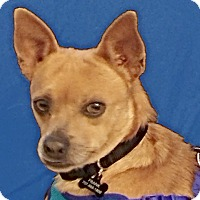 Dachshund/Chihuahua Mix Dog for adoption in San Francisco, California - Franky