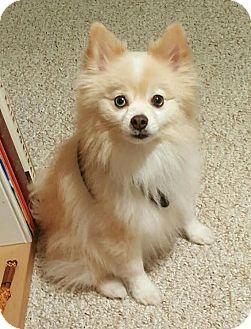 Pomeranian Dog for adoption in Miami, Florida - Rhino