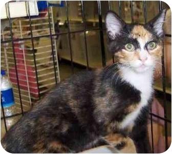 Domestic Shorthair Kitten for adoption in Overland Park, Kansas - Ginny