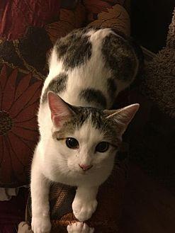 Calico Kitten for adoption in Louisville, Kentucky - Twinklebell