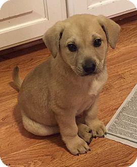 Labrador Retriever Mix Puppy for adoption in Hayes, Virginia - Morris