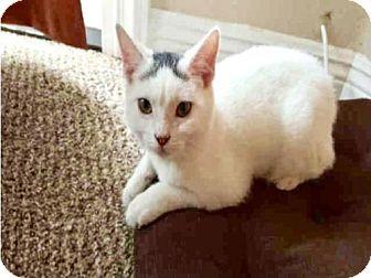 Domestic Mediumhair Cat for adoption in Camarillo, California - *MOCHI