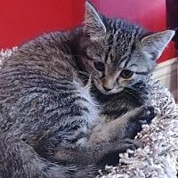 Adopt A Pet :: Dazzler - Columbus, OH