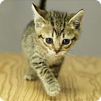 Domestic Shorthair Kitten for adoption in Great Falls, Montana - Ligress