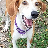 Hound (Unknown Type)/Mixed Breed (Medium) Mix Dog for adoption in Fort Myers, Florida - Madison