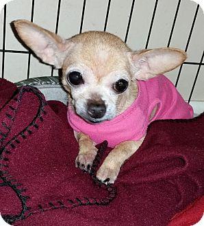 Chihuahua Mix Dog for adoption in Savannah, Georgia - Chickpea