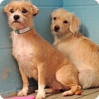 Adopt A Pet :: Avery - Joplin, MO
