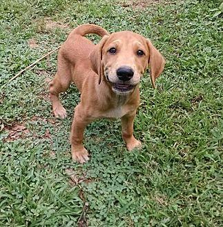 Labrador Retriever/Hound (Unknown Type) Mix Puppy for adoption in Great Falls, Virginia - Ryan