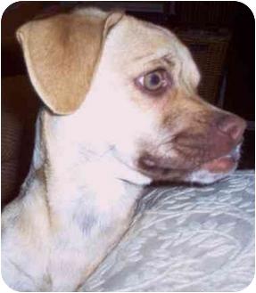 Chihuahua Mix Dog for adoption in Marion, North Carolina - Pugsley