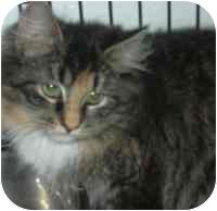Domestic Mediumhair Kitten for adoption in West Warwick, Rhode Island - Suzy