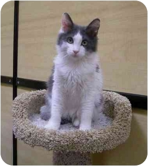 Domestic Mediumhair Kitten for adoption in Palmdale, California - Butter