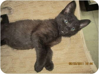 Domestic Shorthair Kitten for adoption in Sterling Hgts, Michigan - Chelsea