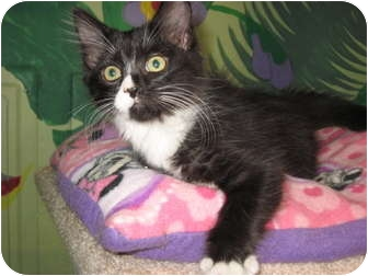 Domestic Shorthair Cat for adoption in Columbia, Illinois - Duncan