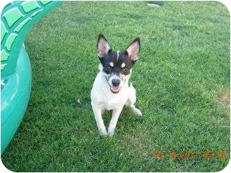Chihuahua Dog for adoption in Phoenix, Arizona - Pookie Bear