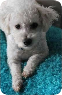 Poodle (Miniature)/Bichon Frise Mix Dog for adoption in Yuba City, California - Olivia