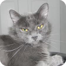 Domestic Shorthair Cat for adoption in Lancaster, Massachusetts - Lancelot