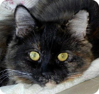 Domestic Longhair Cat for adoption in Winchester, California - Lou Anne