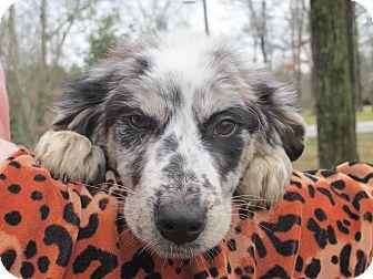 Australian Shepherd Mix Puppy for adoption in Foster, Rhode Island - Kylie