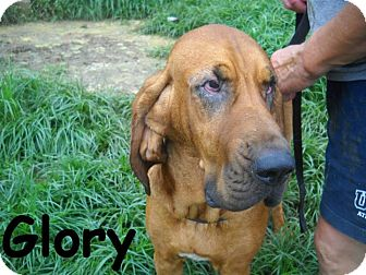 Bloodhound Dog for adoption in Albany, New York - Glory