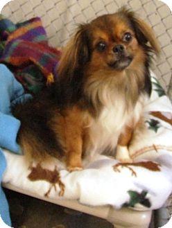 Chihuahua Mix Dog for adoption in Kalamazoo, Michigan - Eugene
