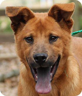 Golden Retriever Mix Puppy for adoption in Stamford, Connecticut - Peanut Butter