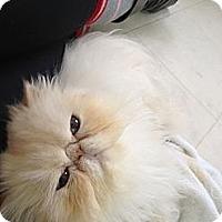 Adopt A Pet :: Siobhan - Beverly Hills, CA