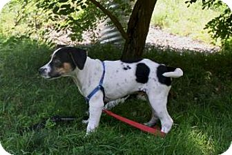 Beagle/Hound (Unknown Type) Mix Puppy for adoption in Gloucester, Massachusetts - Barrister