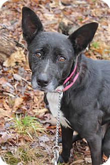 Jack Russell Terrier/Labrador Retriever Mix Dog for adoption in Waldorf, Maryland - Chloe