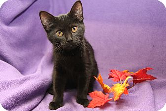 Domestic Shorthair Cat for adoption in Marietta, Ohio - Blackjack (Neutered)