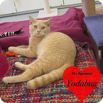 Domestic Shorthair Cat for adoption in San Leon, Texas - Karat