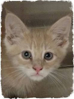 Domestic Shorthair Kitten for adoption in Pueblo West, Colorado - Victor