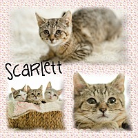 Adopt A Pet :: Scarlett - DOVER, OH