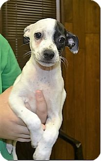 Chihuahua Mix Puppy for adoption in Tavares, Florida - Walker
