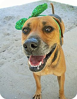 Hound (Unknown Type) Mix Dog for adoption in Umatilla, Florida - Abby