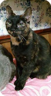 Domestic Shorthair Cat for adoption in Witter, Arkansas - Flicker