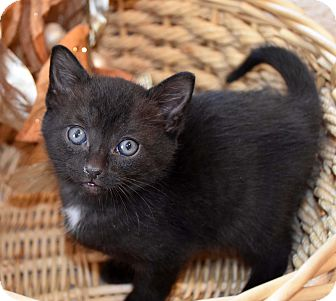 Domestic Shorthair Kitten for adoption in Bristol, Connecticut - Austin