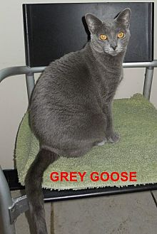 Domestic Shorthair Cat for adoption in Satellite Beach, Florida - Gray Goose