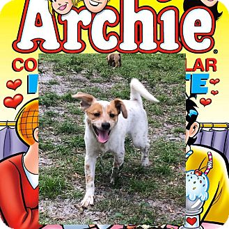 Blue Heeler/English Setter Mix Puppy for adoption in Palm Harbor, Florida - Archie