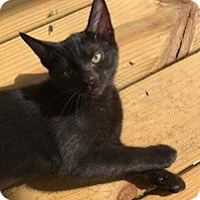 Adopt A Pet :: Kuro - Chattanooga, TN