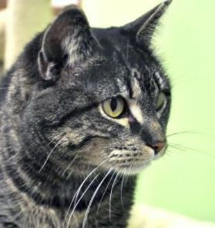 Domestic Shorthair/Domestic Shorthair Mix Cat for adoption in Northbrook, Illinois - Mabell