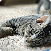 Adopt A Pet :: Scorch - Arlington/Ft Worth, TX