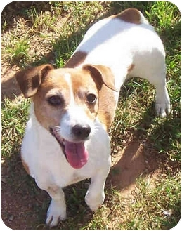 Jack Russell Terrier Dog for adoption in Phoenix, Arizona - SOPHIE