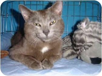 Russian Blue Cat for adoption in Cincinnati, Ohio - Titus