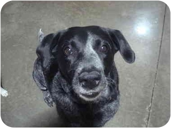 Labrador Retriever/German Shorthaired Pointer Mix Dog for adoption in Palatine, Illinois - TEQUILA